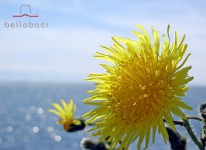 How Dandelion Works to Get Rid of Cellulite - By Bellabaci Cellulite Cupping Massage